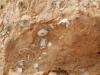 Hélix avec oncolithes dans des carbonates